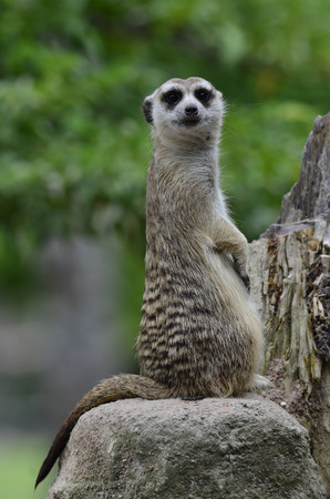 Nice Meerkat or Meercat standing strait upright watching for enemy Stock Photo