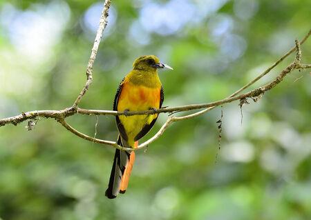 prin: Breasted-Orange Trogon y los insectos en la boca a sus cr�as, oreskios Harpactes