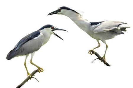 prin: Par de Negro coronado Night Heron en fondo blanco aislado, nycticorax, p�jaro