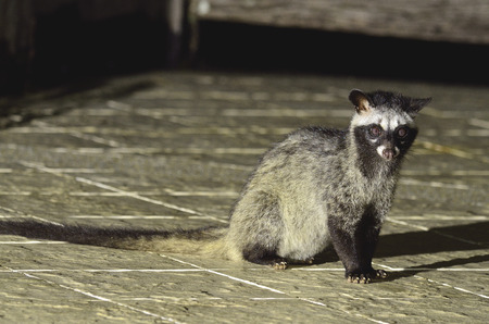 Palm civet or spotted civet sitting in the night light photo