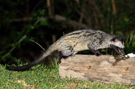 civet cat: Palm civet taking meal in the night time