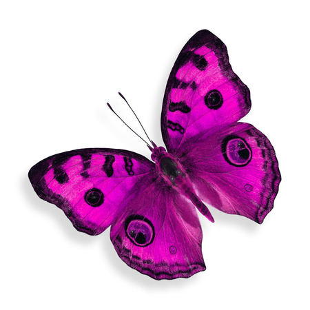 papillon rose: Papillon rose (pensée de paon de couleur fantaisie) isolé sur fond blanc