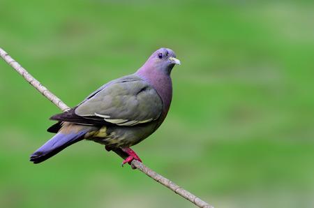 prin: Paloma verde-rosa de cuello, vernans Treron, posarse en la rama con fondo claro verde, p�jaro Foto de archivo