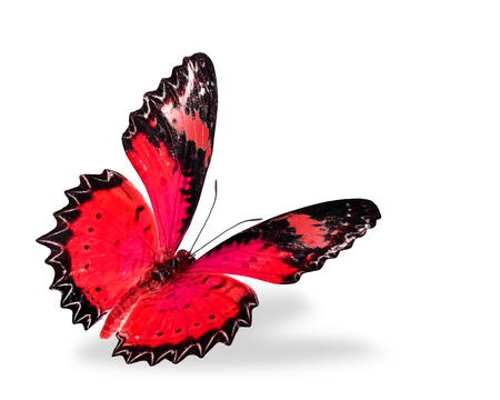 biblis: Red butterfly flying, Leopard Lacewing, color transparency isolated on white background