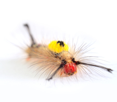 pupation: Red hairy face and yellow back butterfly worm on white background Stock Photo