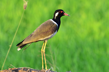 Red-wattled Lapwing standing with head to toe details and nice lighting and background, Vanellus indicus, bird photo
