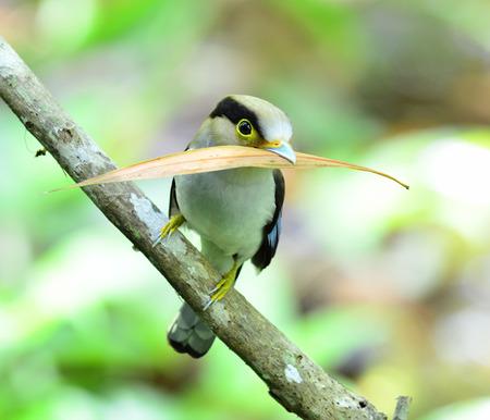 prin: Broadbill-Silver pecho transporte de material para anidar, Serilphus lunatus, la publicaci�n en la rama con grandes detalles, p�jaro