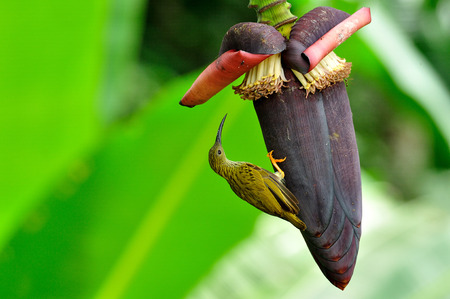 streaked: Streaked Spiderhunter with flying bee on banana flower and syrupping around
