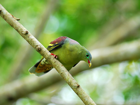 feigenbaum: Dickschnabel-gr�ne Taube (Treron curvirostra) dicke Rechnung gr�nen Taube auf Feigenbaum