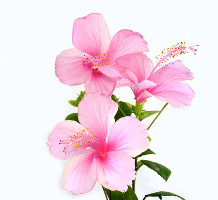 flower bunch: Triple of beautiful of Pink Hibiscus flower bunch isolated on white background Stock Photo
