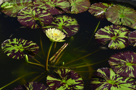 Water Lily or Lotus Flower surrounded by grenn and dark maroon leafs photo