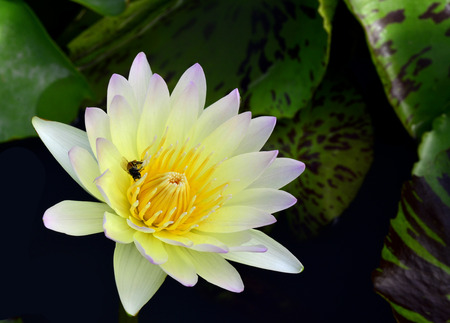 lilia: White Lotus Flower or Water Lily with bee taking its pollens Stock Photo