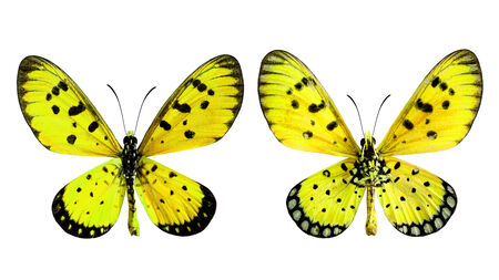 transparency color: Yellow Butterfly, Towny coster (Acraea violae) upper and lower wings profile in transparency color isolated on white background