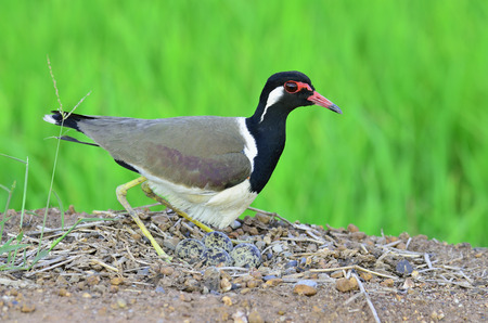 Red-wattled Lapwing hatching eggs in the opened nest, Vanellus indicus, bird of Thailand photo