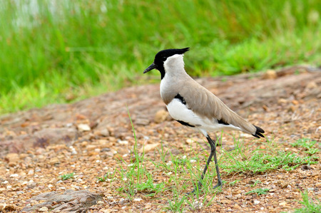 River lapwing standing on ground with grasses around photo