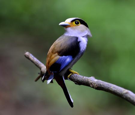 prin: Broadbill-Silver pecho, Serilphus lunatus, la publicación en la rama con grandes detalles, pájaro
