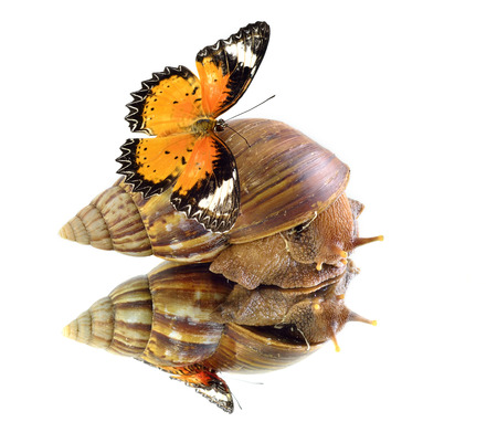 lacewing: Snail carrying Leopard Lacewing butterfly with perfect reflection in shadow Stock Photo