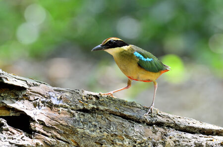 A great pose of Fairy Pitta on the sunshine rock photo