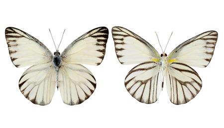 ストライプのアルバトロス蝶 (appais olferna swinhow) ホワイト バック グラウンド上に分離されて両方の上部および下の翼のプロフィール