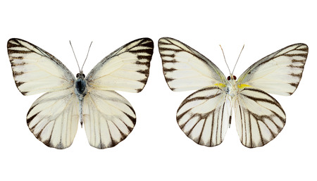 Striped Albatross butterfly (appais olferna swinhow) both upper and lower wing profile isolated on white background Standard-Bild