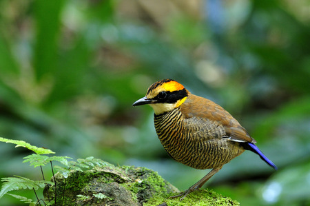 A great female of Banded Pitta on the rock photo