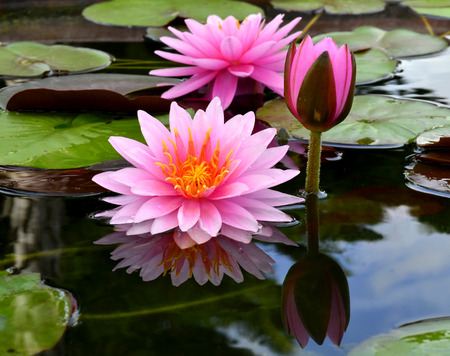 Triple of Lotus Flower or Water lily