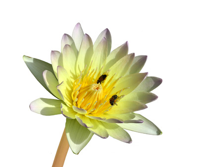 Water Lily or White Lotus Flower with bees and pollens on white background photo