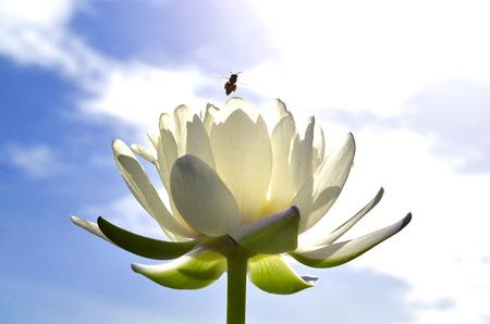 上を飛んでいる蜂で太陽光線より公開されます白い蓮の花や水のユリ