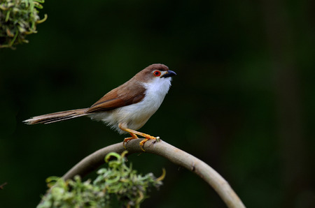 nape: Yellow-eyed Babbler a Beautiful bird with red eyes on the branch with black background