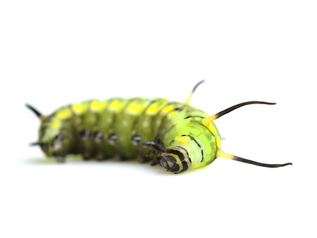 A cute green worm, cute butterfly worm sleeping and lying on the white background photo