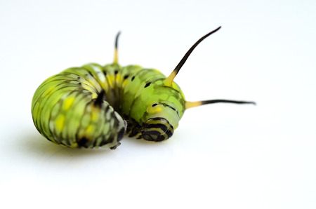 A lazy and cuty green butterfly worm is lying on the white background photo