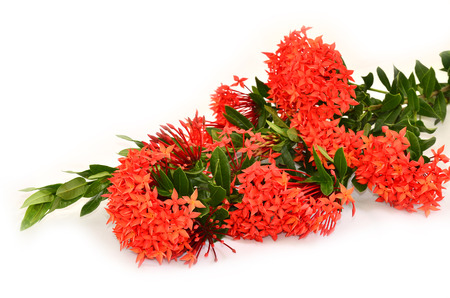Beautiful bunch of Red Ixora ( Coccinea) flowers on white background photo