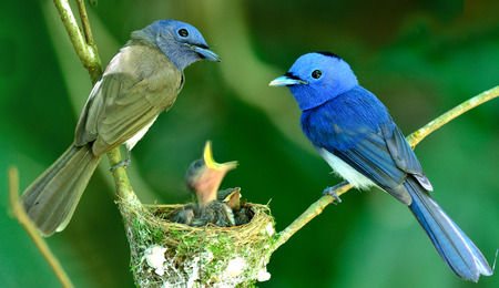 blue bird: Black-naped Monarch or black-naped blue flycatcher, hypothymis azurea, asian paradise flycatcher, guarding its chicks in the nest while feeding season