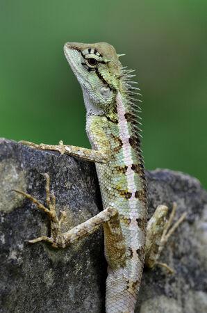 prin: Verde cresta lagarto, lagarto rostro negro, lagarto �rbol, Boulenger Lizard largo dirigido, Pseudocalotes microlepis, enmascarado espinoso lagarto, lagarto azul