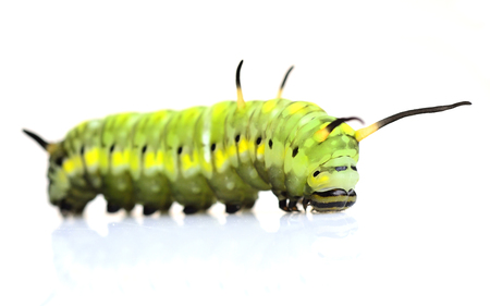 A cute green worm, cute butterfly worm waling on the white background photo