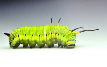 crawling creature: A cute green worm, cute butterfly worm