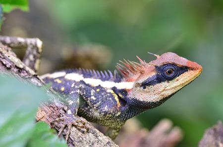 prin: Acanthosaura armata, Gran espinoso lagarto, lagarto negro hecho frente, lagartija espinosa enmascarado, lagarto árbol, Acanthosaura Boulenger crucigera, con más rojo en su cara