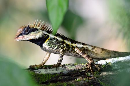 prin: Negro lagarto cara, lagartija espinosa enmascarado, lagarto árbol, Acanthosaura Boulenger crucigera