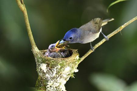 黒い naped 君主またはいわゆる黒い naped 青いヒタキ、hypothymis アズレア、アジアのサンコウチョウの餌の暑い日で、巣のひな鳥を守る
