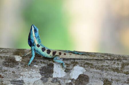 prin: Lagarto azul parece peque�o reptil con detalles agradables en su cuerpo pintado