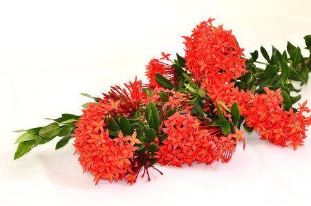 Bunch of Red Ixora (Coccinea) the Beautiful Flower photo
