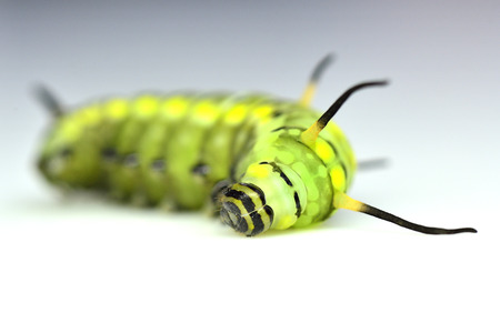 Closeup of cute green worm, cute butterfly worm sleeping and lying on the white background photo