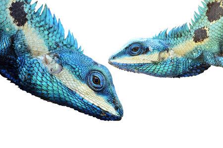 prin: Lagarto azul y el lagarto verde (Lacerta viridis), belleza colorida Foto de archivo