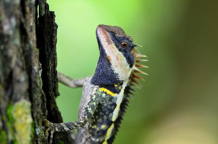 prin: Mayor lagarto espinoso, Acanthosaura armata, lagartija espinosa enmascarado, lagarto árbol, Acanthosaura Boulenger crucigera, pequeña lagartija espinosa, cara negro lagarto