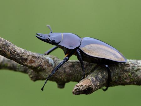 entomological: Hornless of Rhinoceros beetle (Allomyrina dithotomus) with nice green background