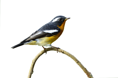prin: Mugimaki lindo Flycatcher con detalles muy agradables en sus plumas, Ficedula mugimaki, fondo blanco, p�jaro