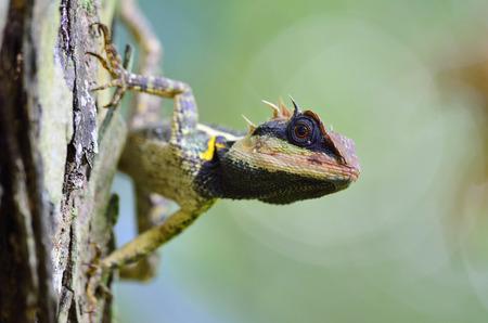 prin: Acanthosaura armata, Gran lagarto espinoso, negro con cara de lagarto, lagartija espinosa enmascarado, lagarto �rbol, Acanthosaura Boulenger crucigera Foto de archivo