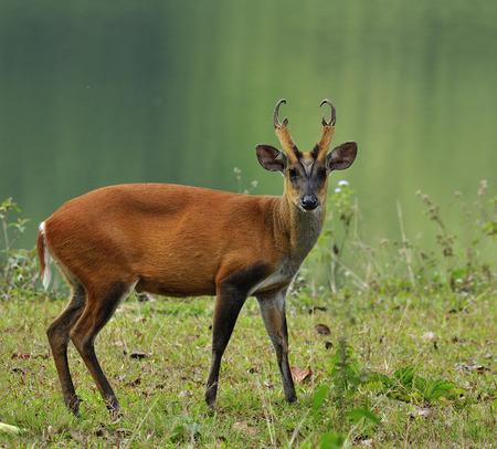 Muntiacus muntjak や fea のホエジカ fea のインドキョン花王カオヤイ国立公園での撮影とも呼ばれます 写真素材