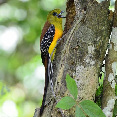 Orange-breasted Trogon percing devant le nid avec de jolis détails dos et fond clair, oiseau dans la nature, oreskios Harpactes Banque d'images