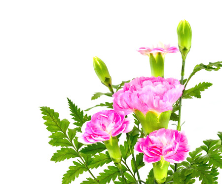 Pink Carnation flower bouquet on white background photo
